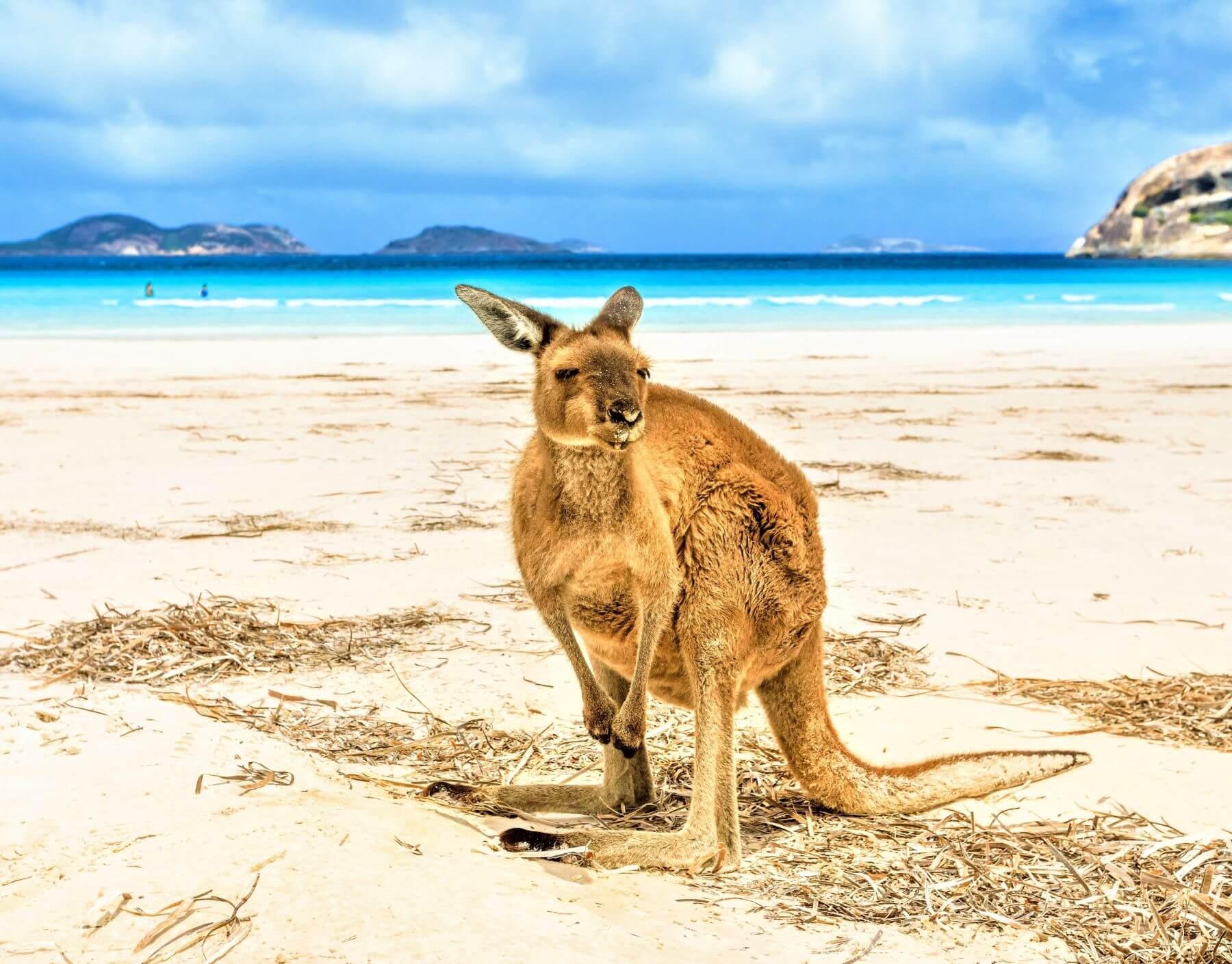 Känguru am Lucky Bay - Schönste Strände in Australien