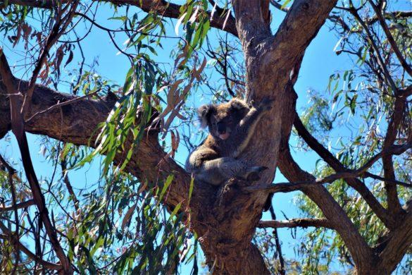 Koalabär in Australien