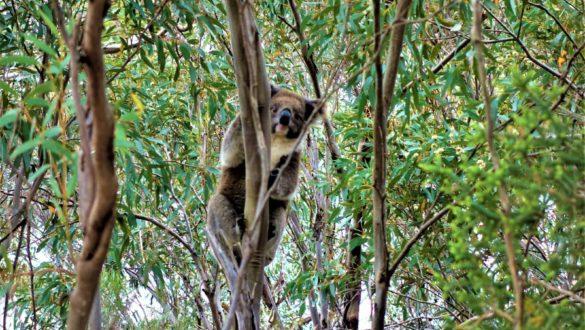 Freilebender Koalabär in Australien