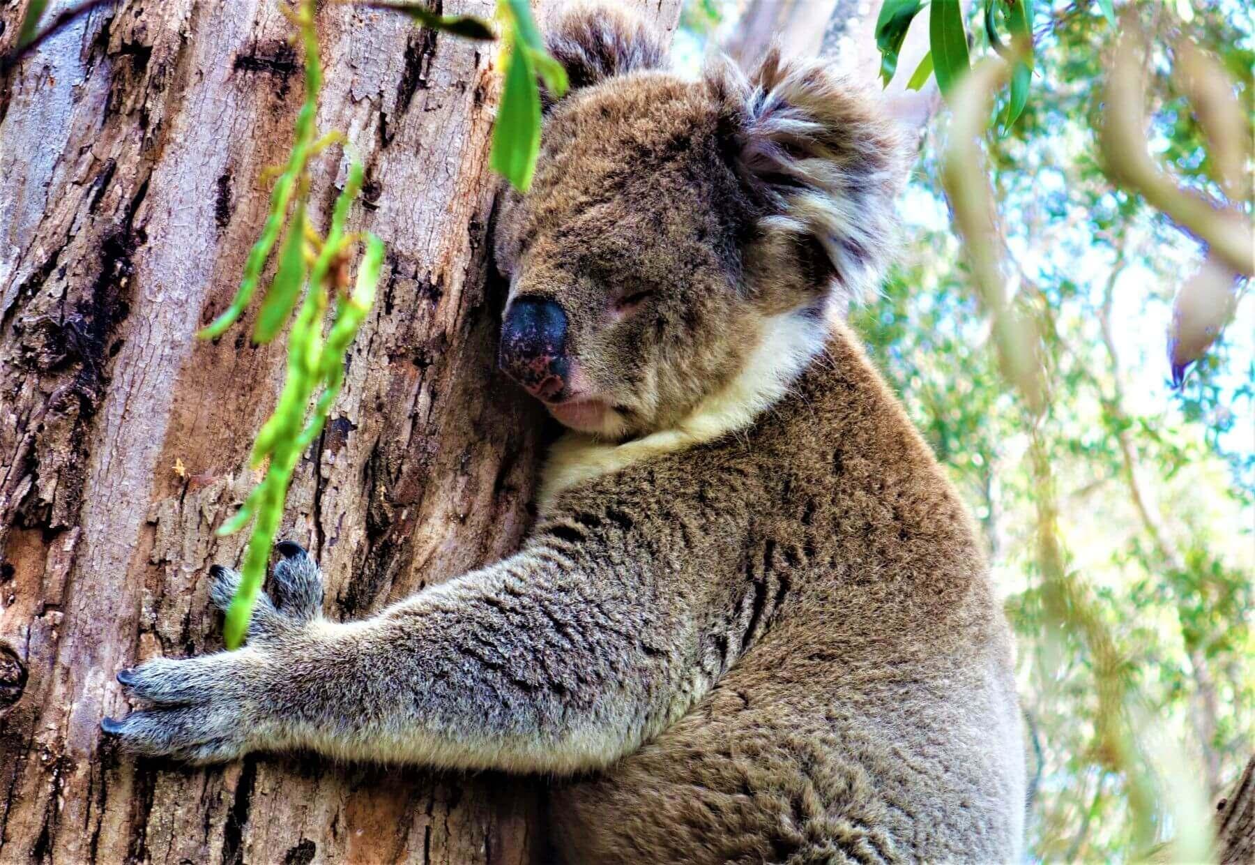 Koalabär in freier Wildbahn sehen in Australien