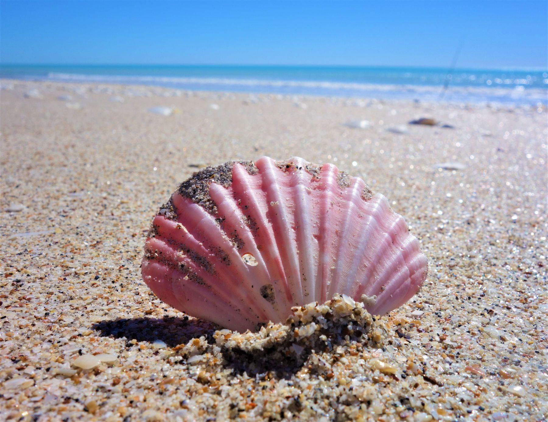 Muschel am Eighty Mile Beach in Australien