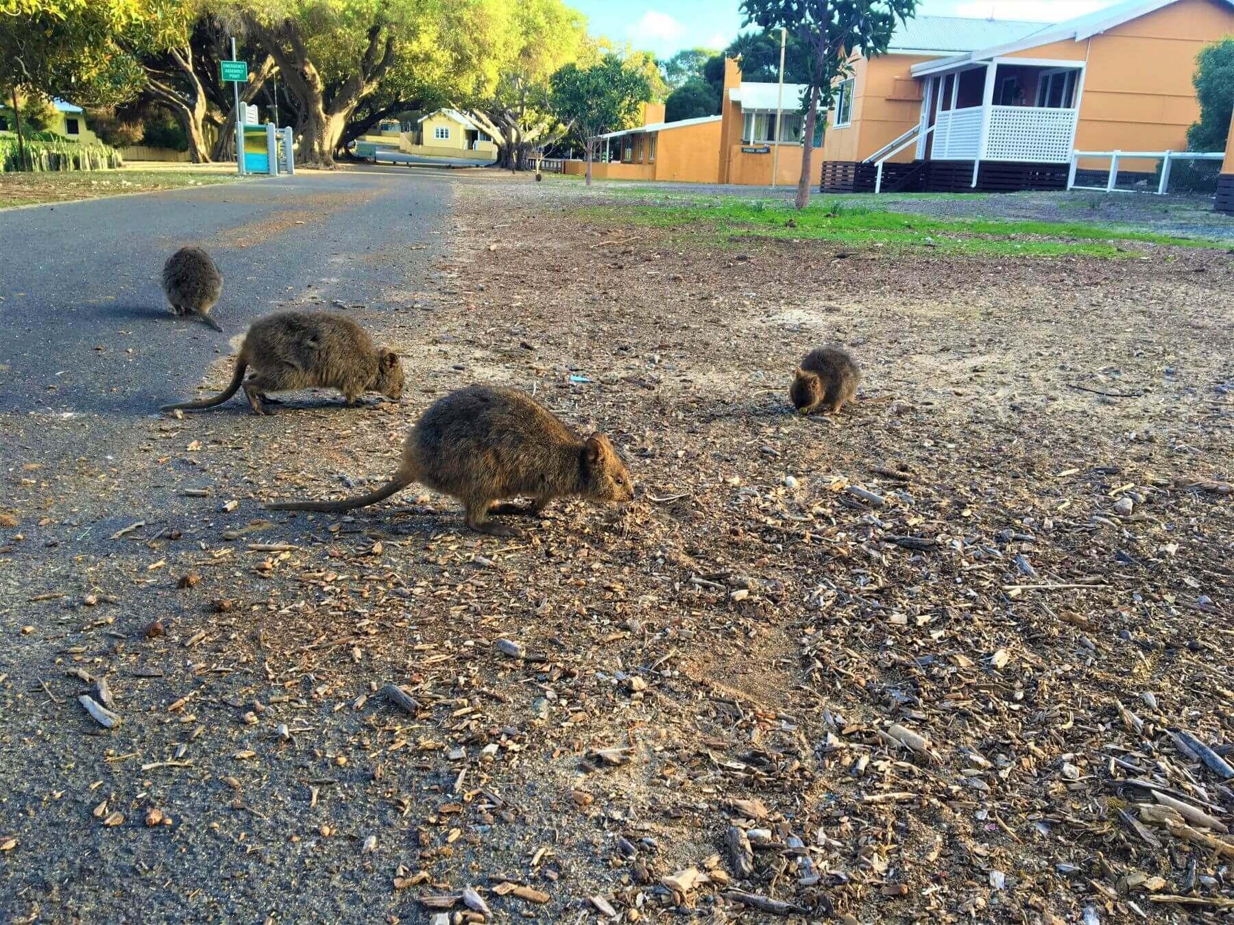 Quokkas auf Rottnest Island in Australien