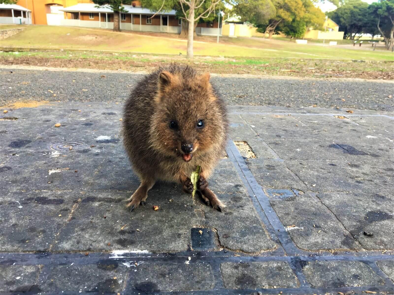 Quokka auf Rottnest Island in Australien