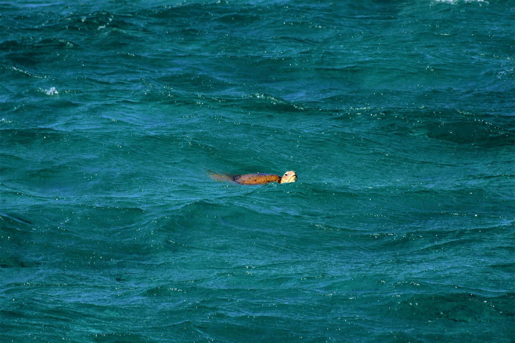 Schwimmende Schildkröte am Ningaloo Reef in Australien