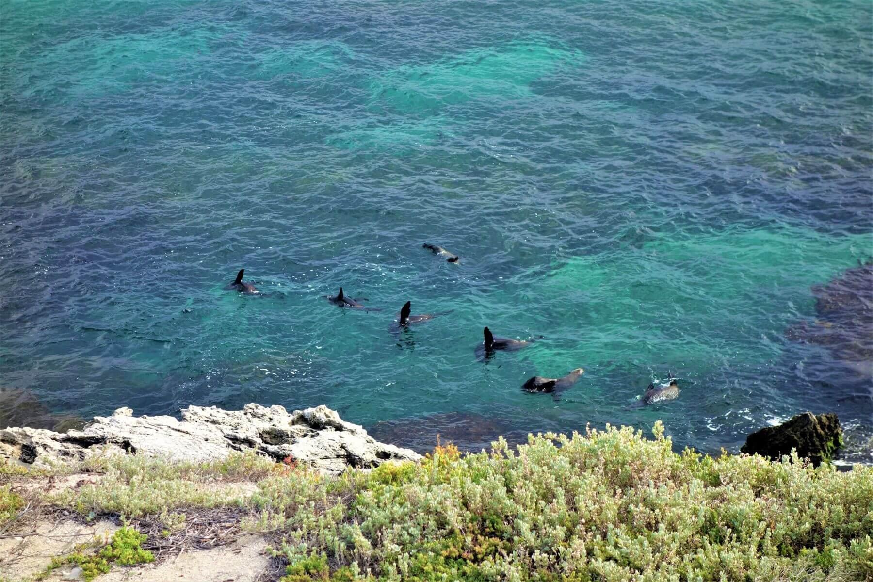 Seelöwen auf Rottnest Island in Australien