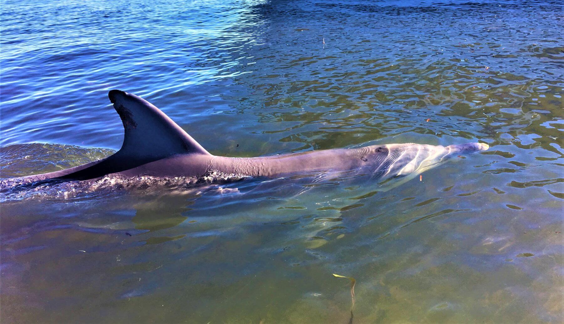 Delfin bei Monkey Mia in Australien
