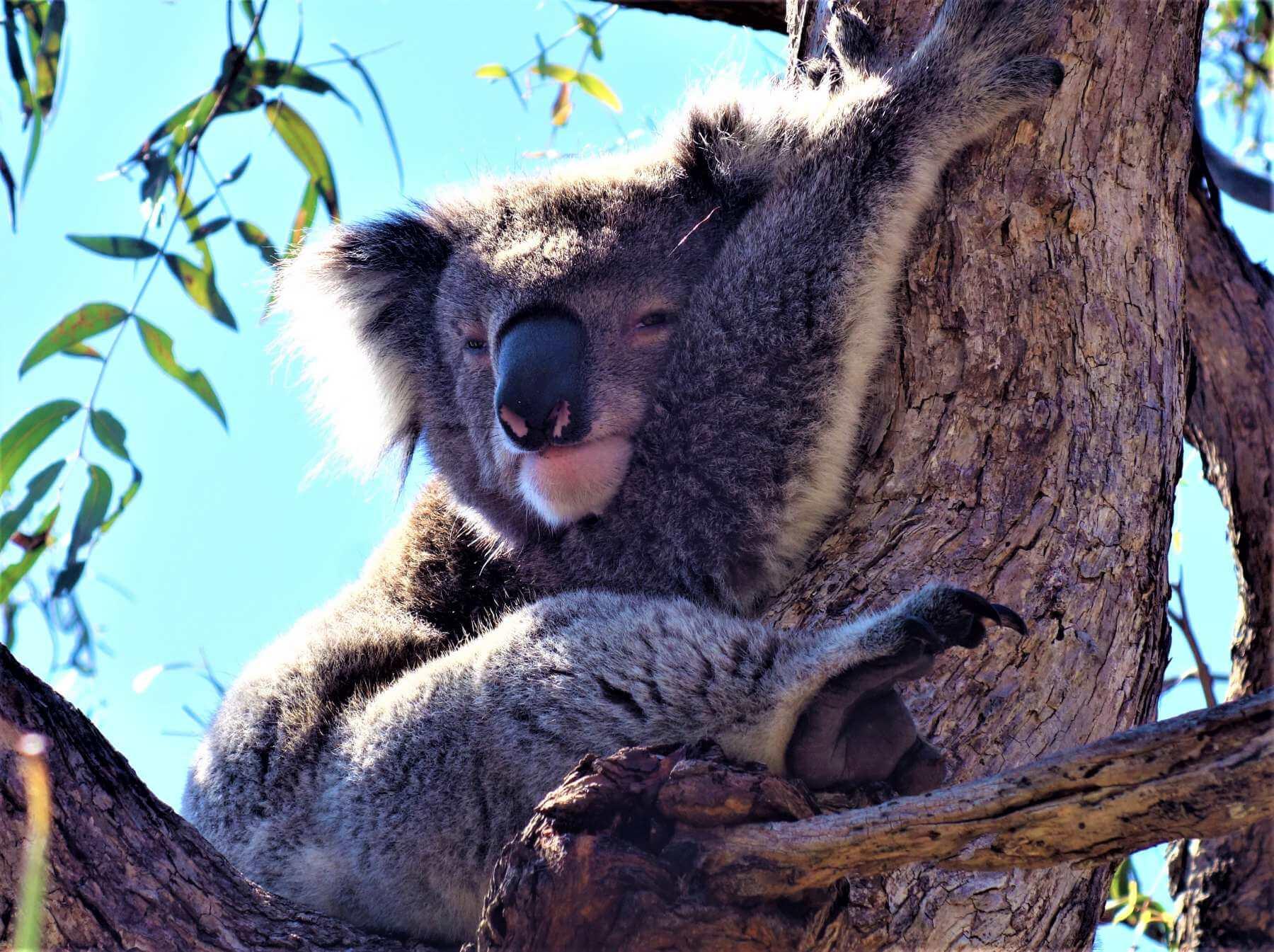 Koala auf Raymond Island in Australien