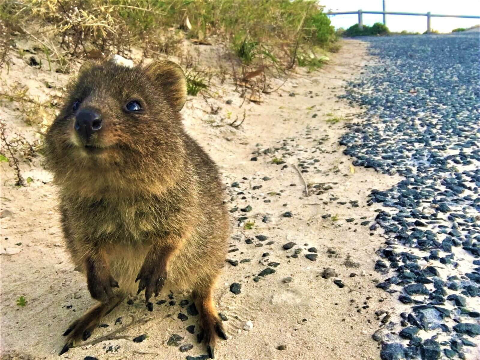 Quokka auf Rottnest Island