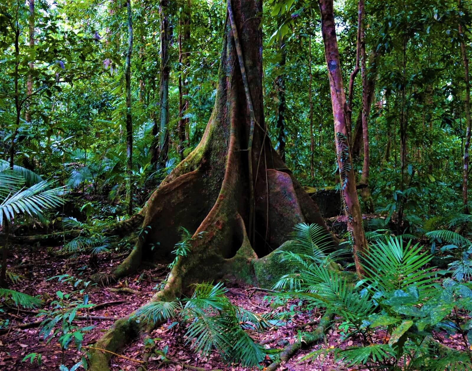 Daintree Regenwald in Australien
