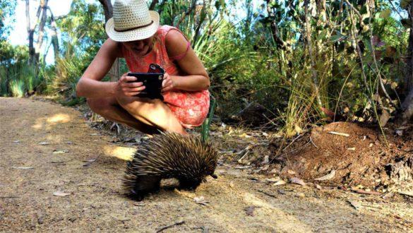 Echidna in Australien
