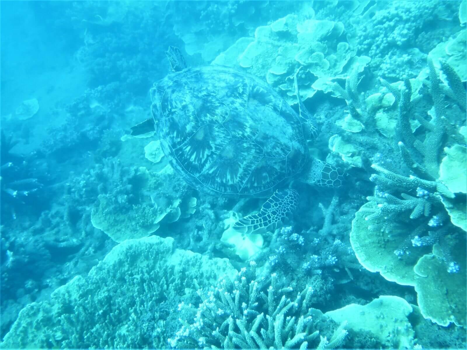Tiere am Great Barrier Reef - Hier eine Schildkröte