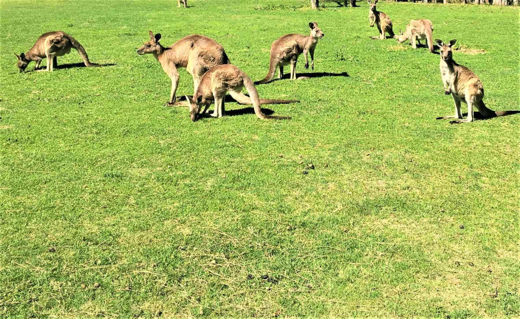 Kängurus in der Känguru Sanctuary in Australien