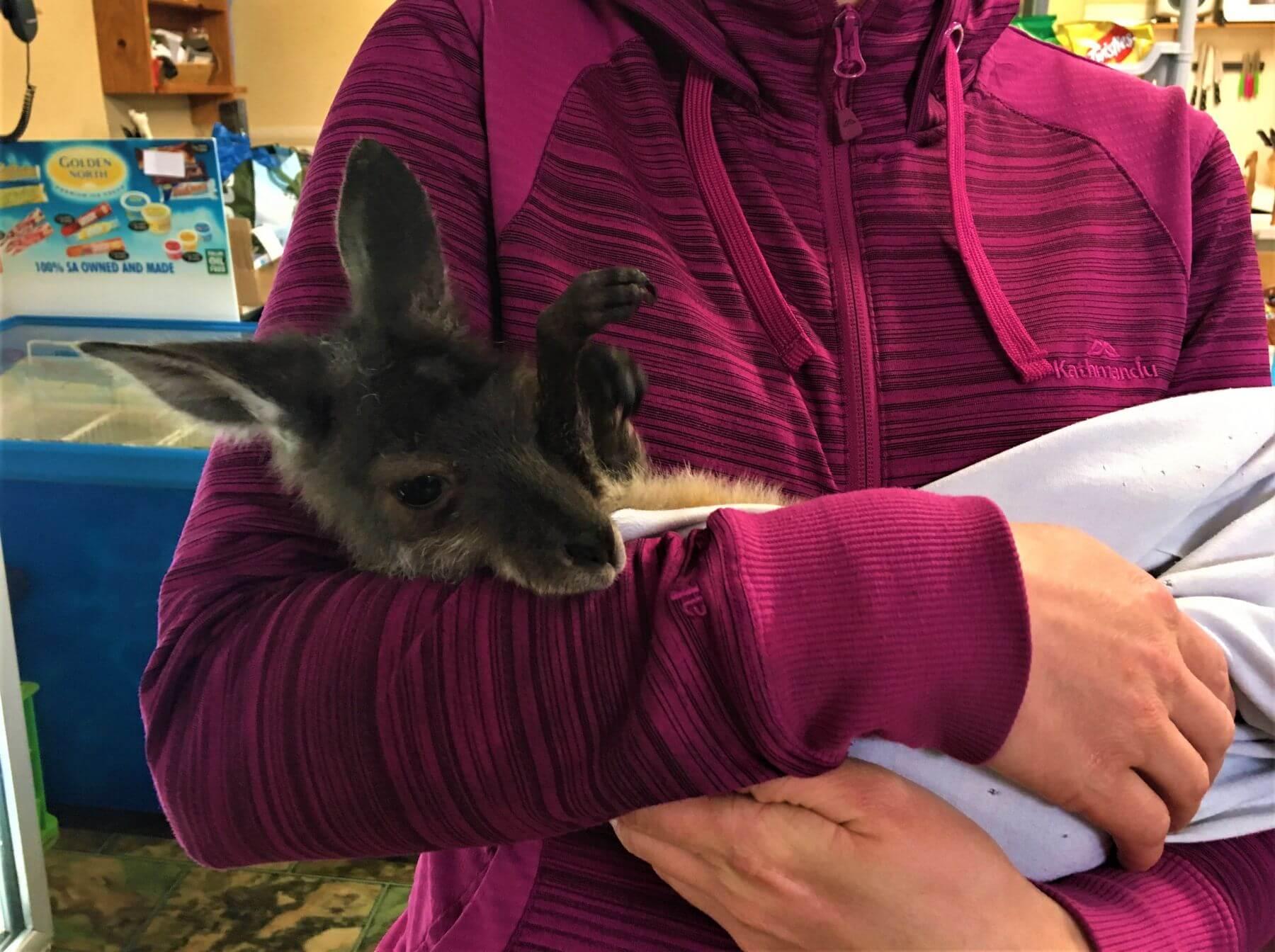 Känguru Baby auf dem Arm halten in Australien