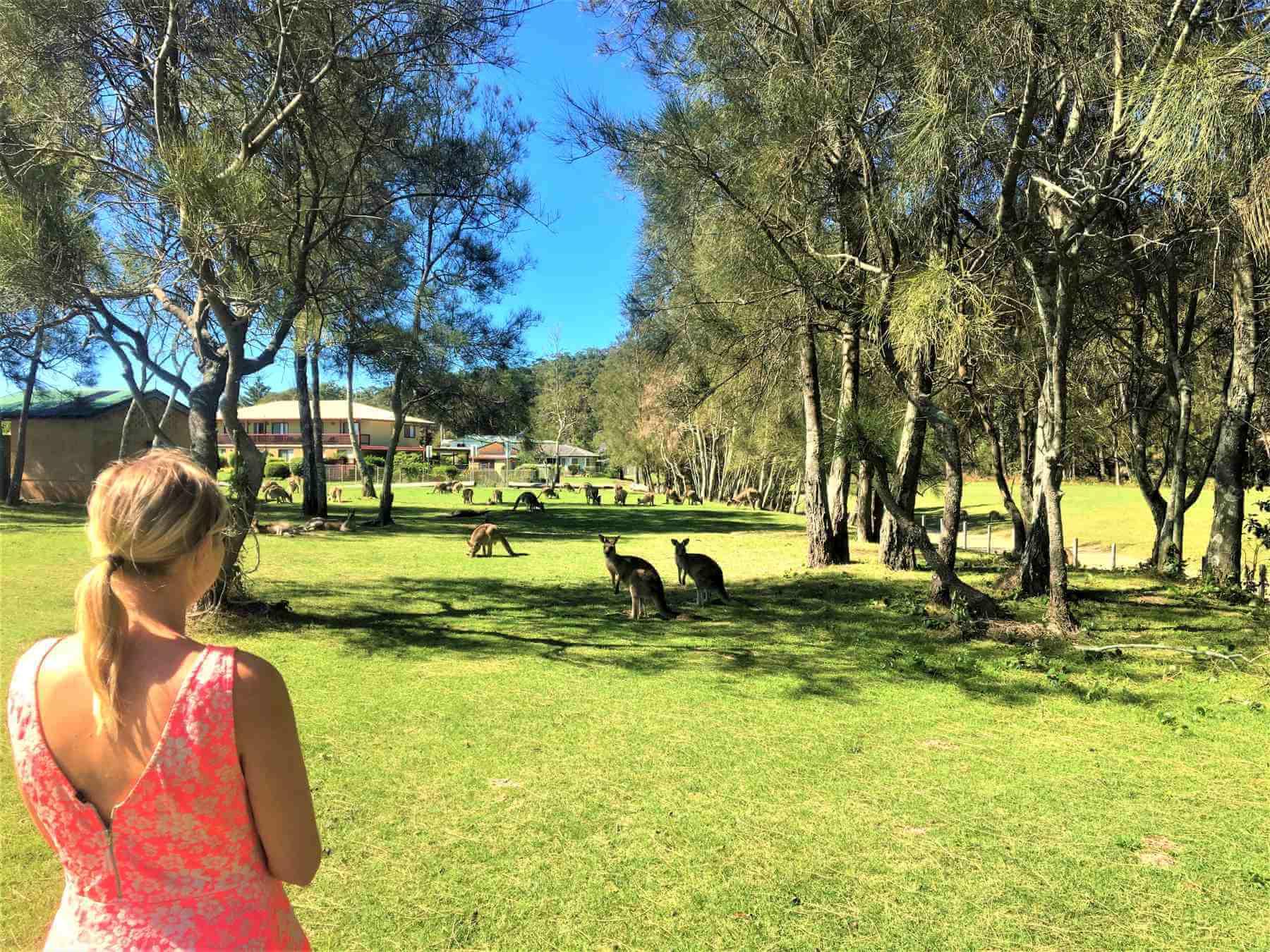 Känguru im Murramarang National Park in Australien