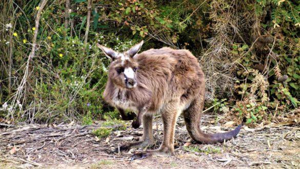 Braunes Känguru in Australien