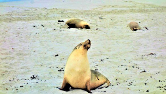 Kangaroo Island Australien - Sehenswürdigkeiten - Seelöwe