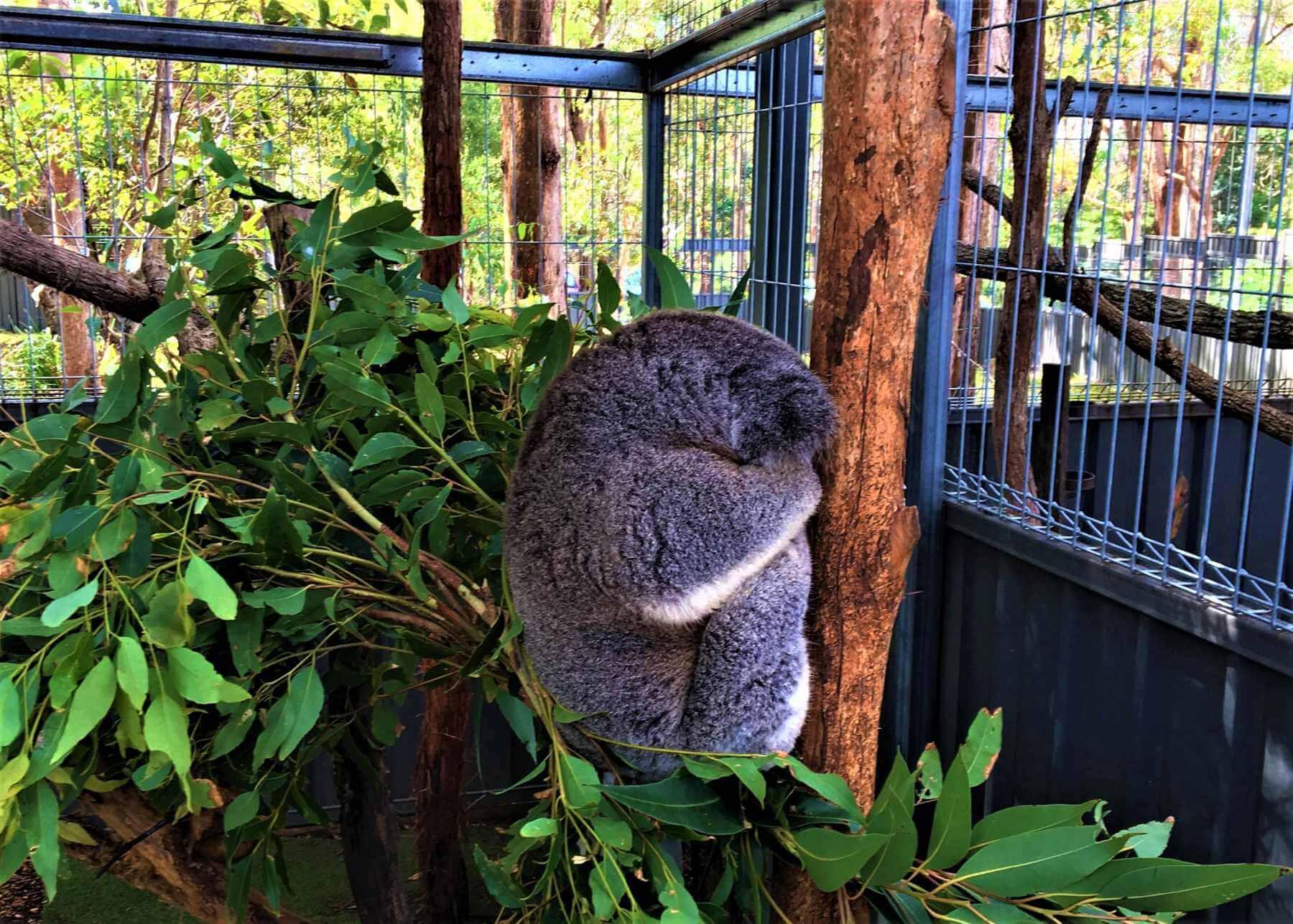 Koala Krankenhaus in Port Macquarie