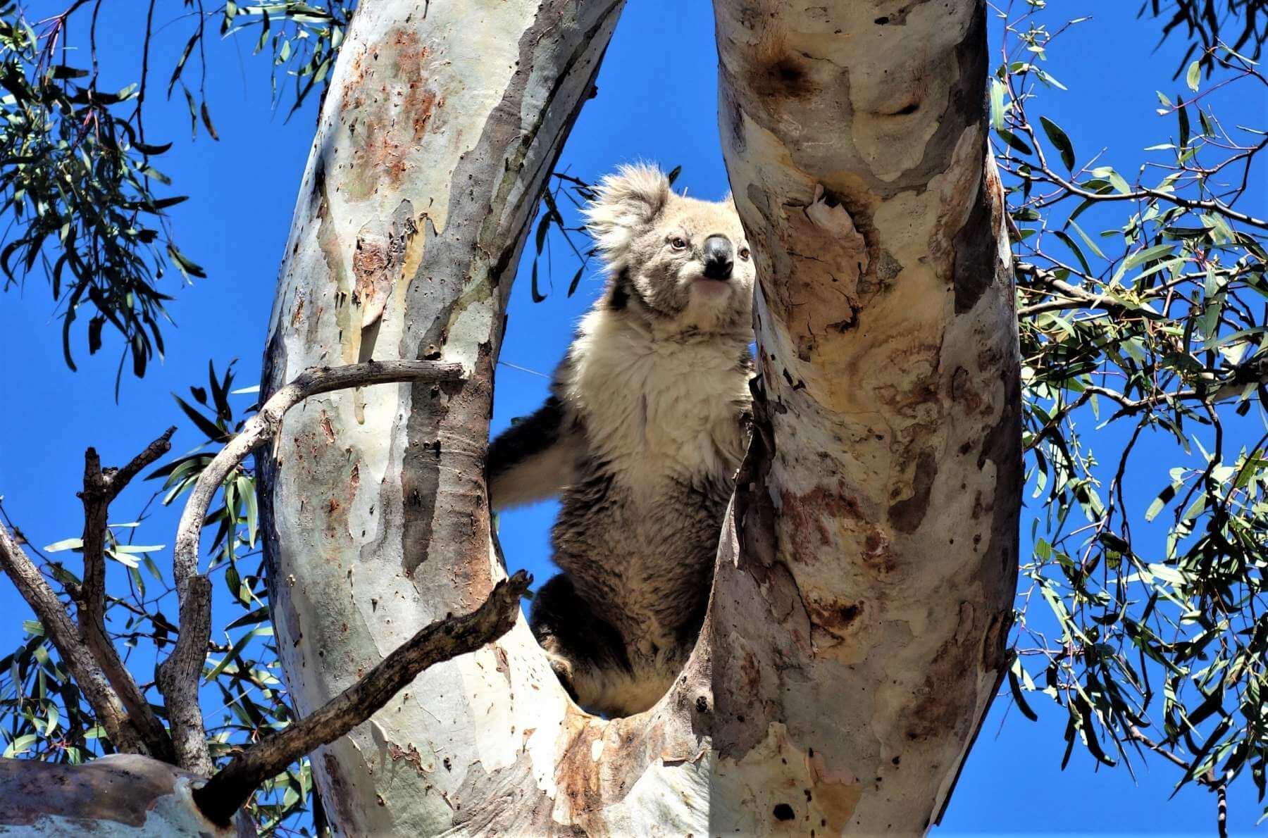 Koalas in Australien - Raymond Island