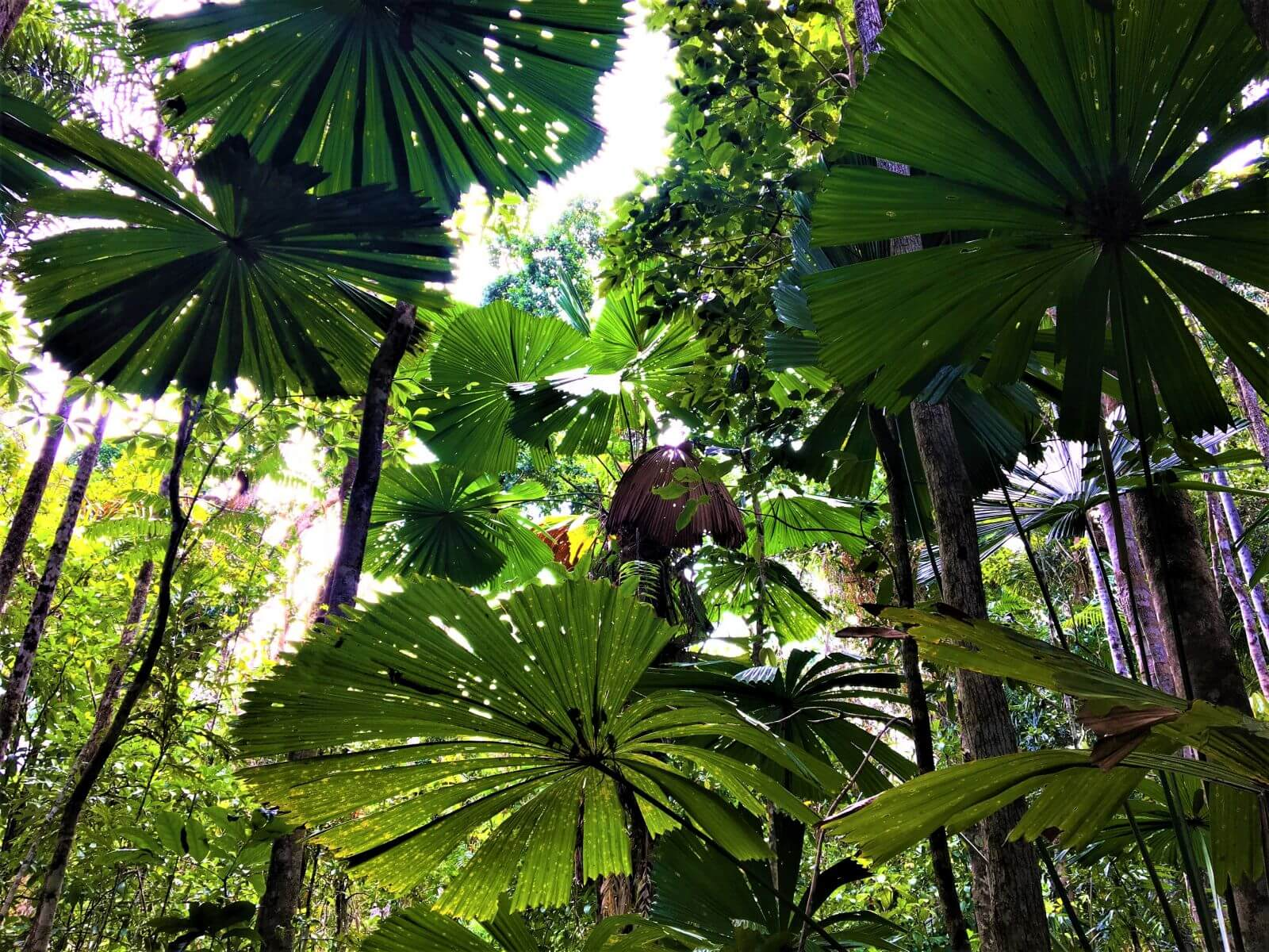Regenwald in Australien - Der Daintree Rainforest
