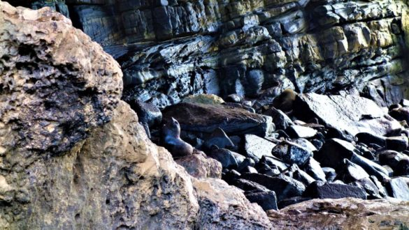 Seebär in Australien