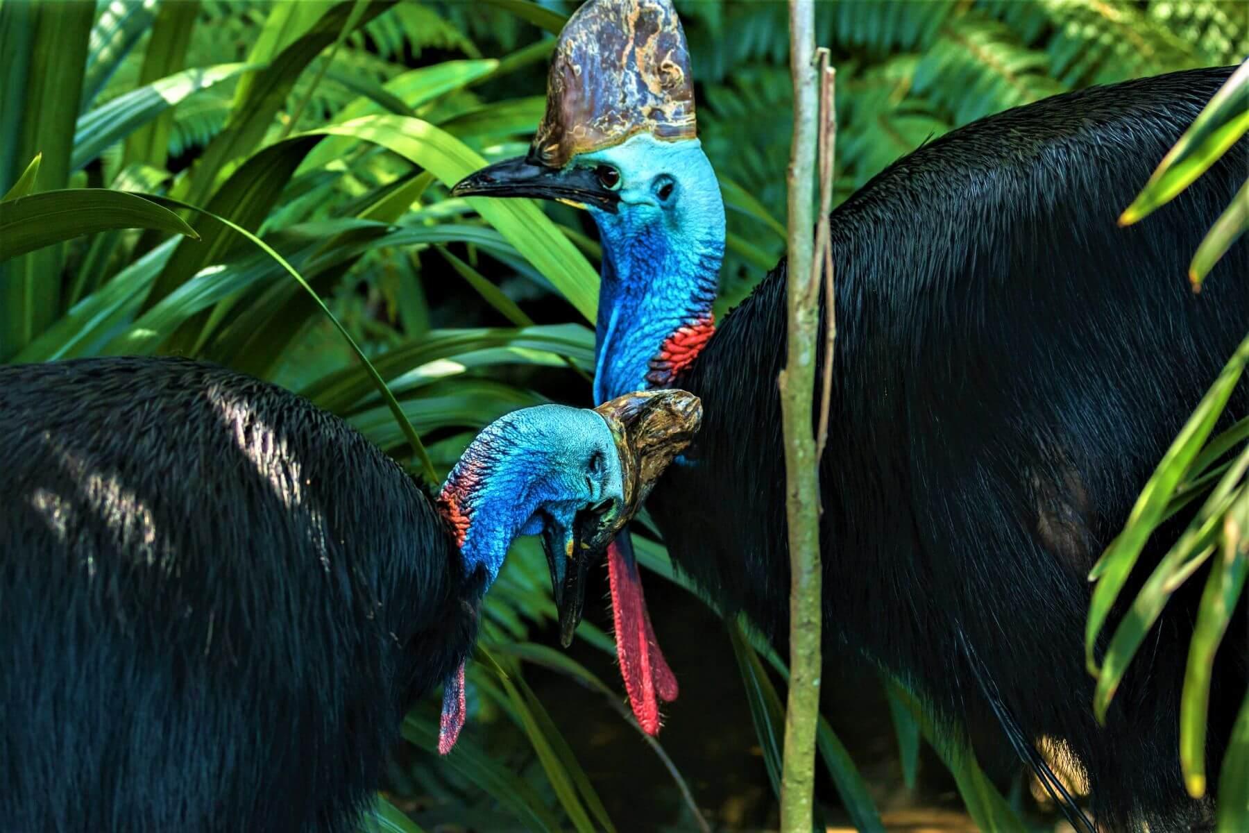 Tiere im Regenwald von Australien - Der Kasuare
