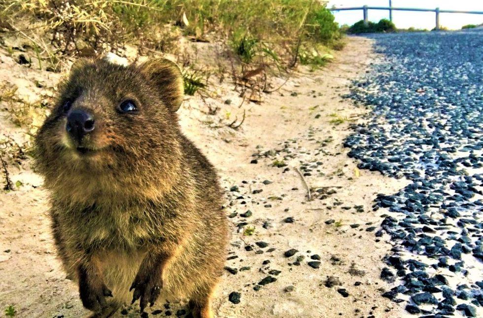 Westküste Australien Highlights - Quokka